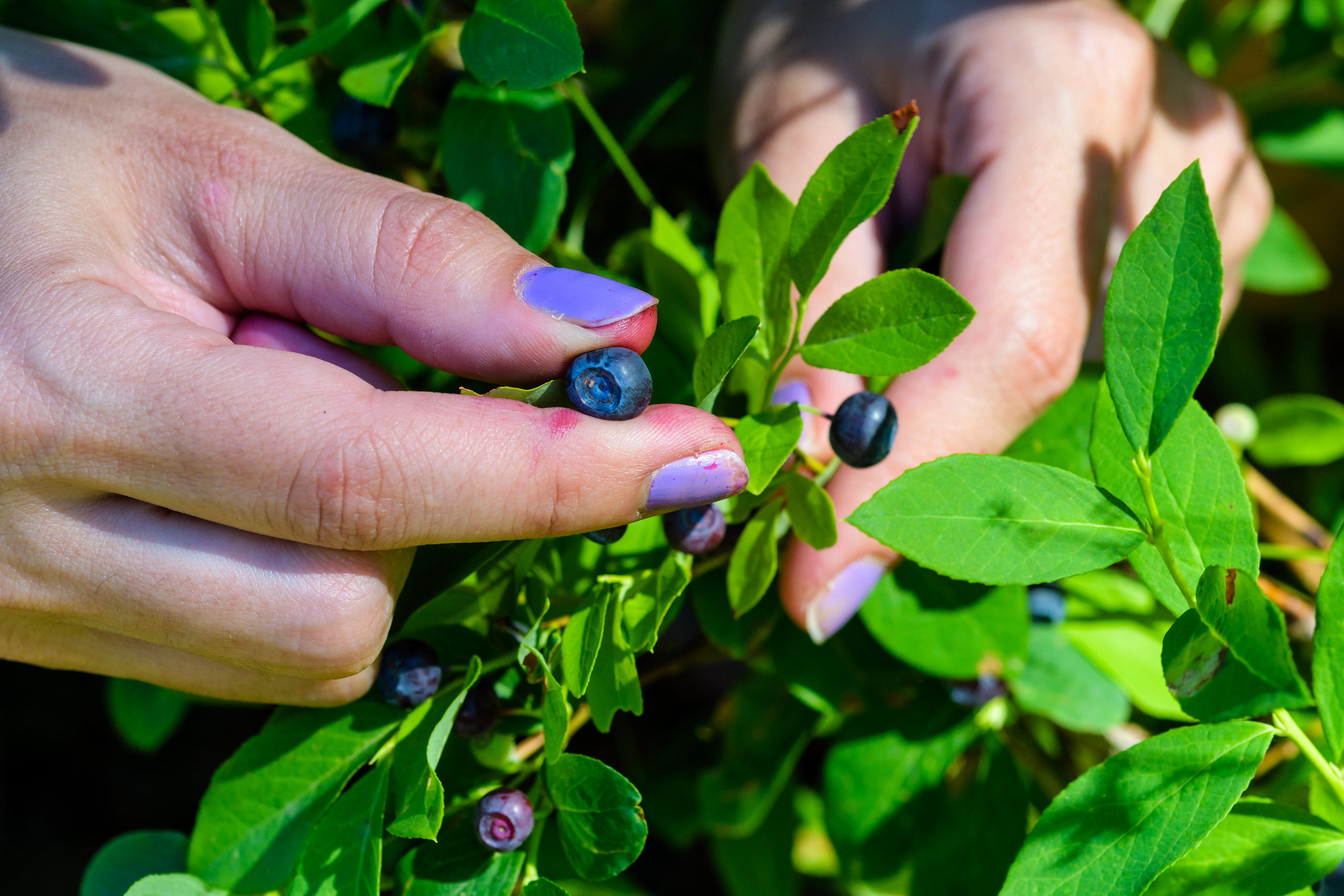 Picking the huckleberries